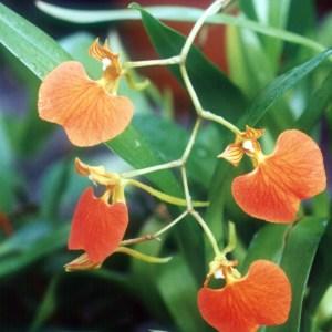 Comparettia-speciosa--planta.jpg