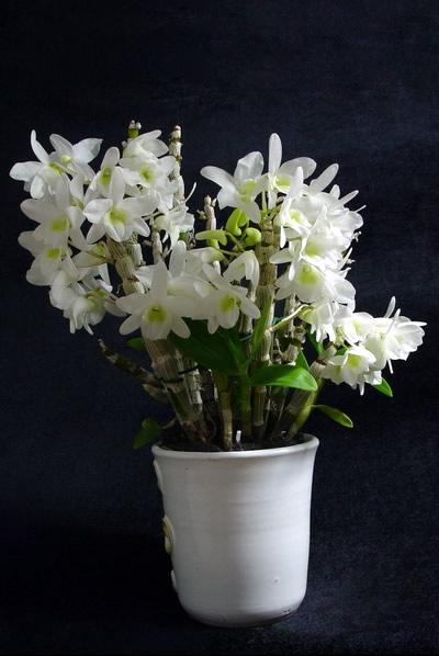 Dendrobium- Pocket-Lover--plant.jpg