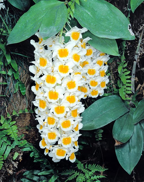 Dendrobium-farmeri--white.jpg