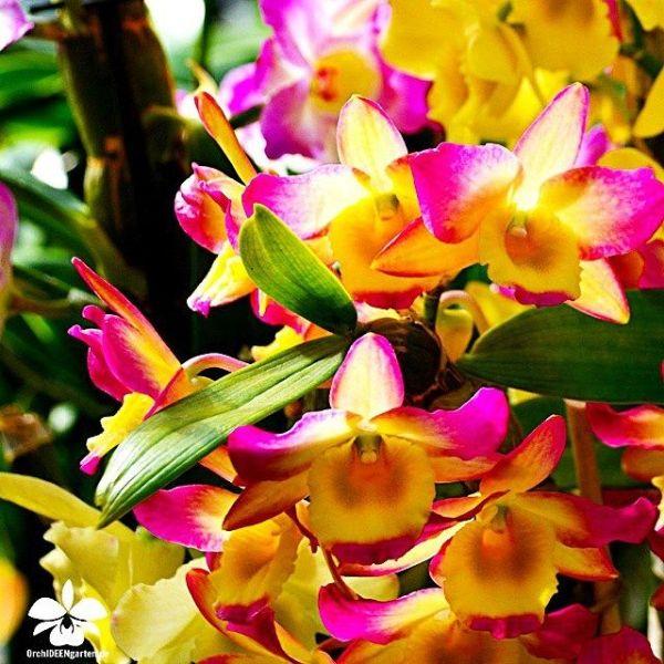 Dendrobium-nobile--Meinen-Hebammen.jpg