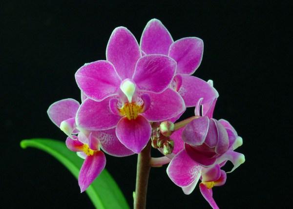 Phalaenopsis-equestris-b100.jpg