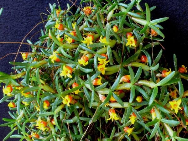 Mediocalcar-decoratum--plant.jpg