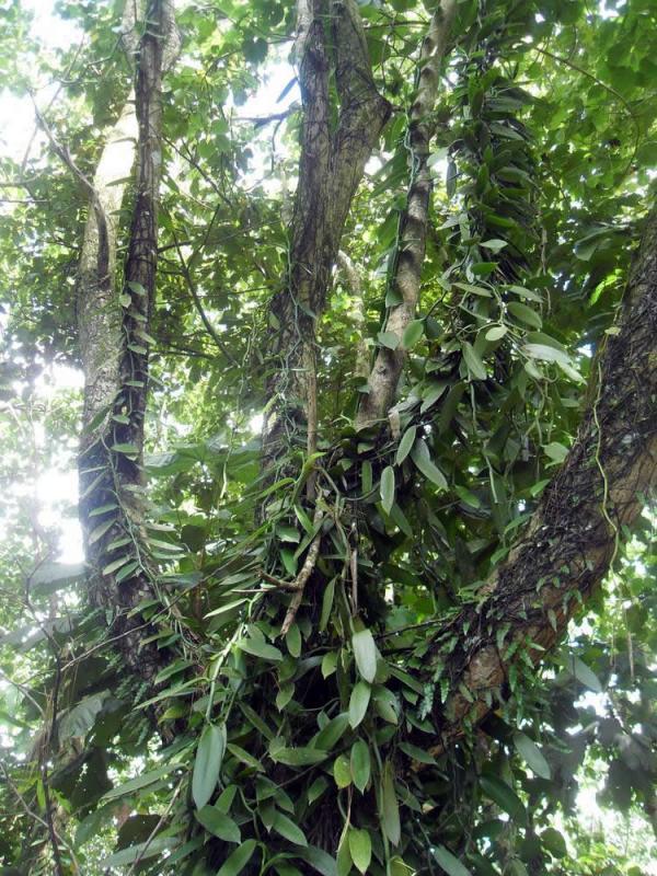 Vanilla-planifolia--on-tree.jpg