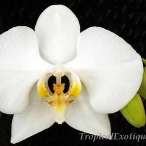 Phalaenopsis-amabilis-palawan.jpg