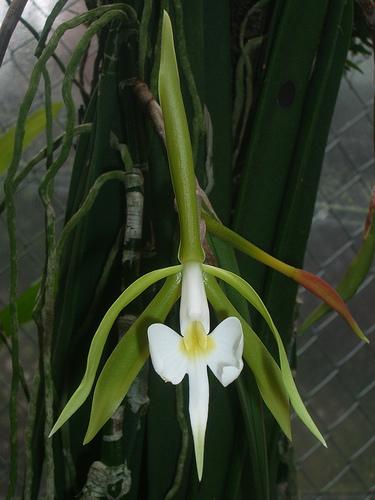 Epidendrum-parkinsonianum.jpg