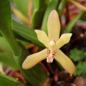 Maxillaria-rufescens.jpg