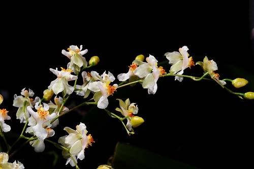 Oncidium-Twinkle--CT-White-Strong.jpg