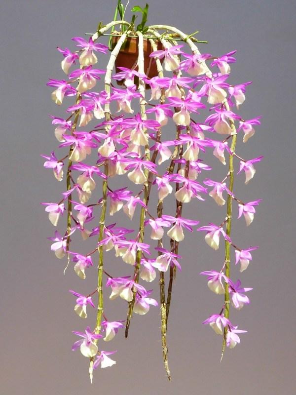 Dendrobium-Jan-Orinstein.jpg