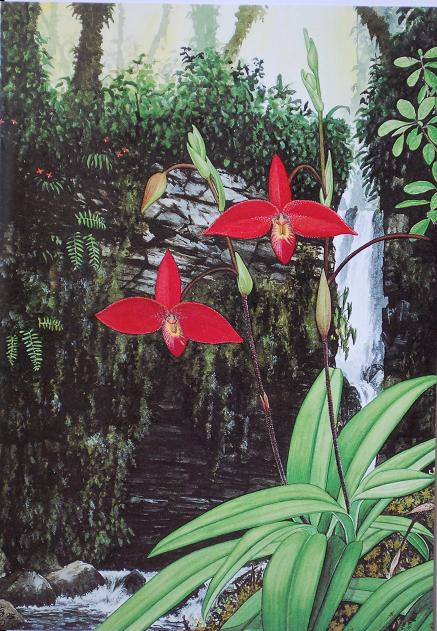 Stigs_kort_Phragmipedium_besseae.jpg