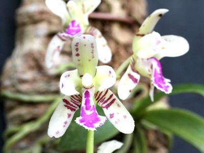 Sedirea-japonica.jpg