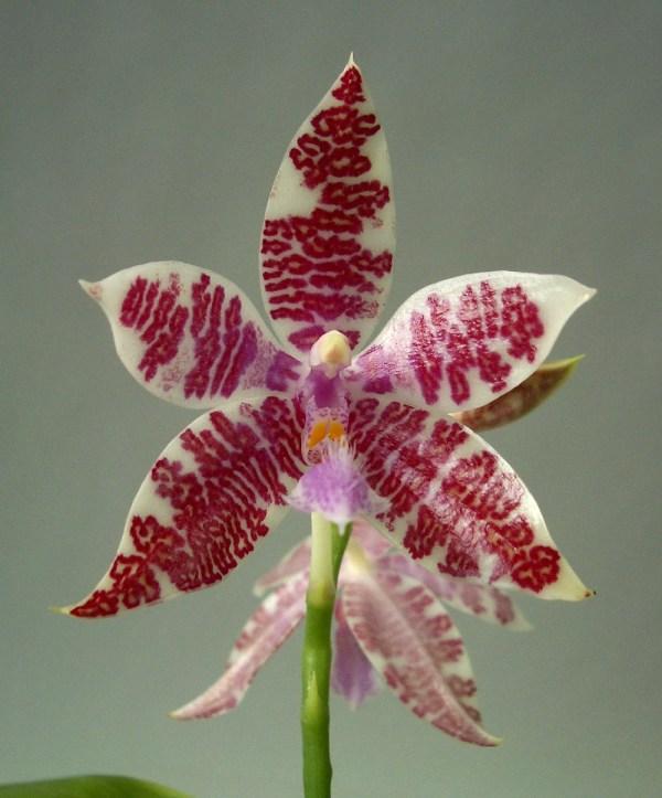 Phalaenopsis-hieroglyphica.jpg