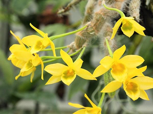 Dendrobium-senile.jpg