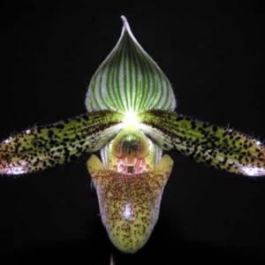 Paphiopedilum-wardii.jpg