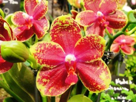 Phalaenopsis-Ambonosa-x-Tzu-Chiang-Chrisna--Tainan.jpg