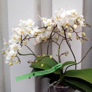 Phalaenopsis-Wild--planta.jpg