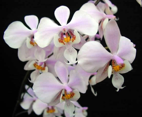 Phalaenopsis-schilleriana.jpg
