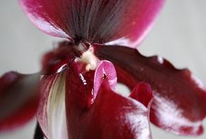 Paphiopedilum-Vinicolor-Black-Jack.jpg