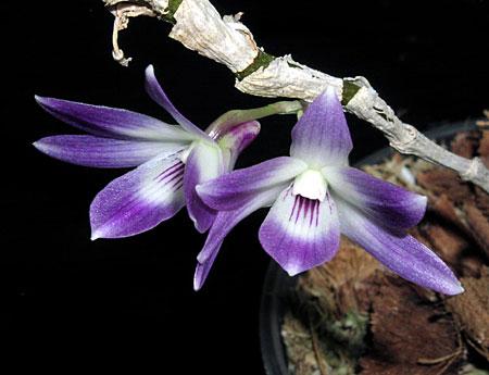 Dendrobium-victoriae-reginae-blommor-bulb.jpg
