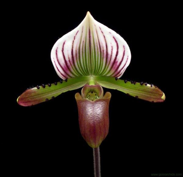 Paphiopedilum-lawrenceanum.jpg