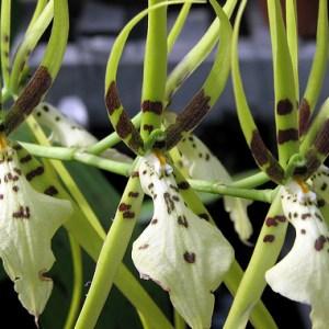 Brassia-verrucosa-x-maculata