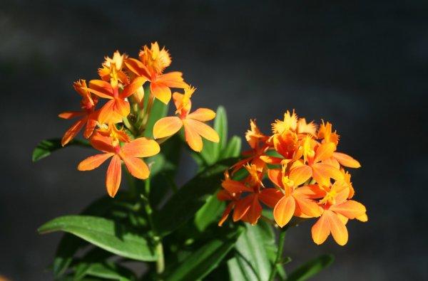 Epidendrum Ballerina, orange