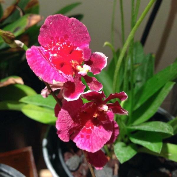 Tolumnia-hybrid-blommor i rött