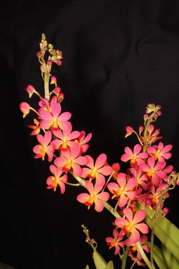 Vandaenopsis Pulcherrimin 'Kodama' HCC/AOS