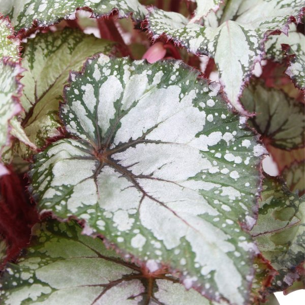 Begonia Asian Tundra