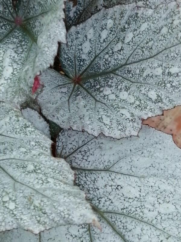 Begonia Yukon Frost