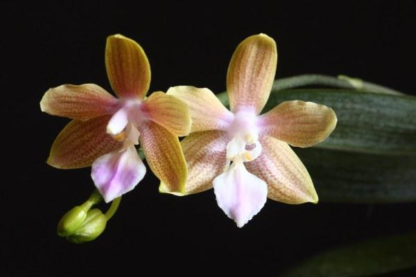 Phalaenopsis Helene Burkhardt (venosa x lindenii)