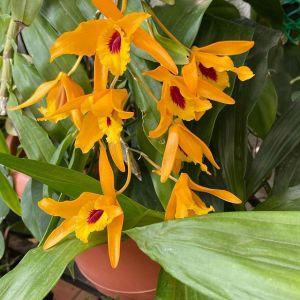 Dendrobium Chantaboon