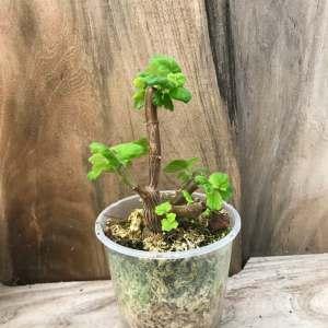 Plectranthus ernstii, ung planta
