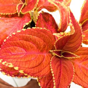Palettblad Fairway Orange