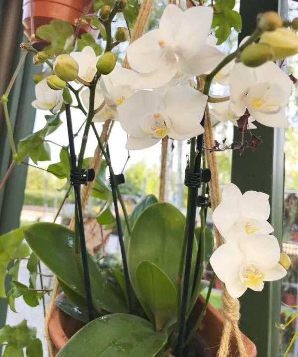 Phalaenopsis Pisco