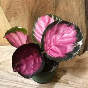 Calathea roseopicta 'Rosy', ung planta