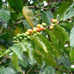 Coffea arabica-gren med frukter