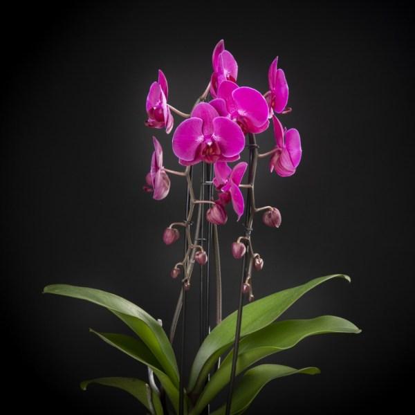 Phalaenopsis Stellenbosch