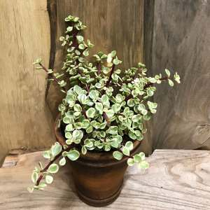 Portulacaria afra f. variegata