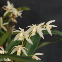 Coelogyne graminifolia