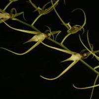 Brassia jipijanensis