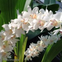 Eria hyacinthioides