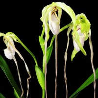 Phragmipedium wallisiii