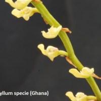 Bulbophyllum species Ghana