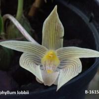 Bulbophyllum lobbii