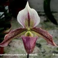 Paphiopedilum Leanum x wardii