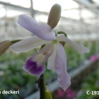 Cattleya deckerii
