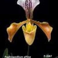 Paphiopedilum affine