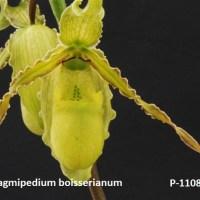 Phragmipedium boisserianum