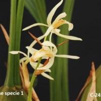 Coelogyne specie 1