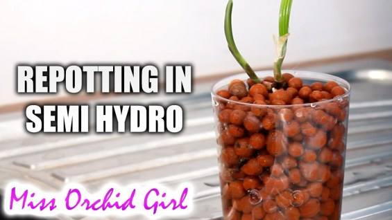 How I repot Orchids in semi hydroponics
